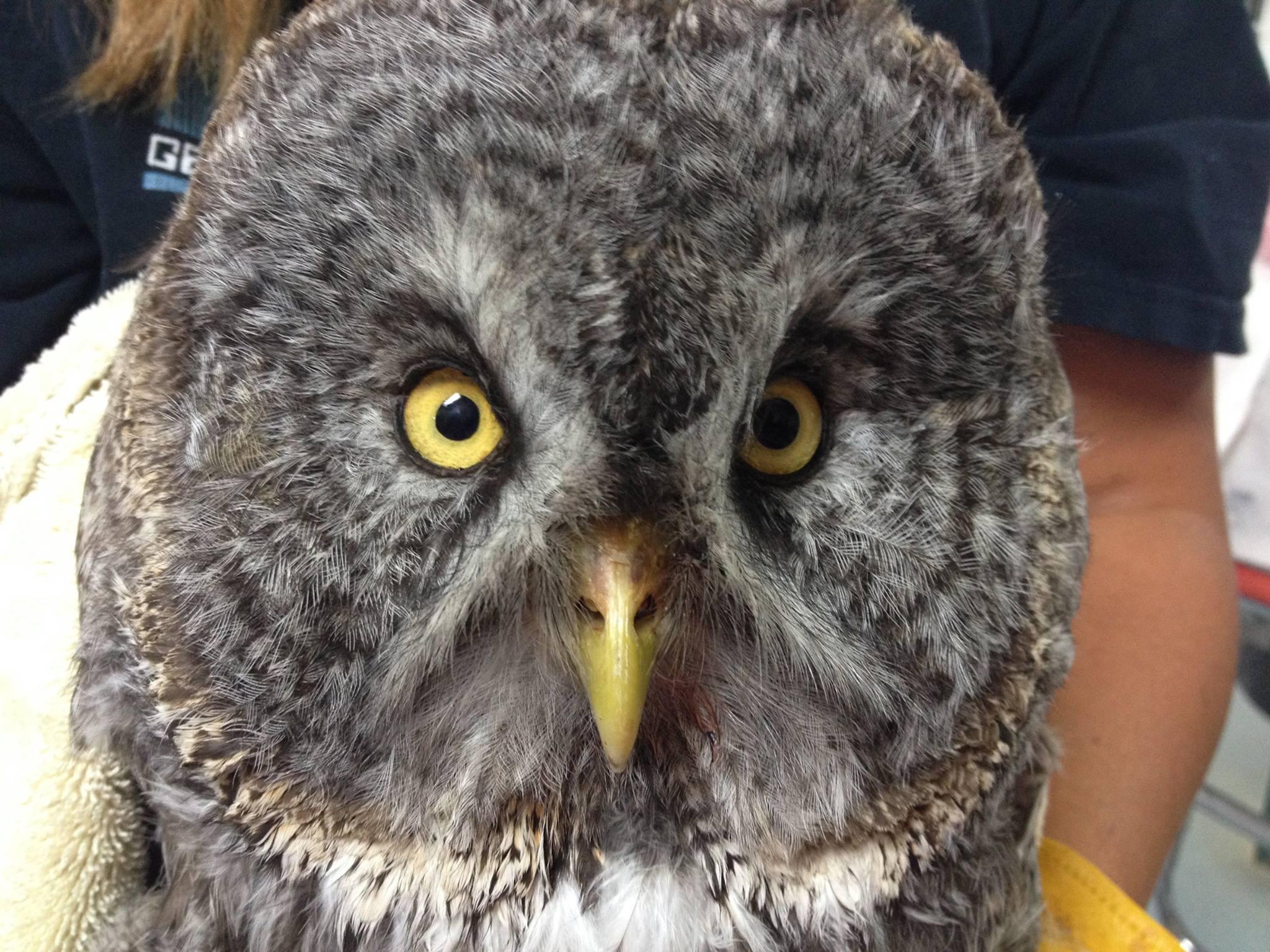 Great Grey Owl Tragedy - Montana Raptor Conservation Center