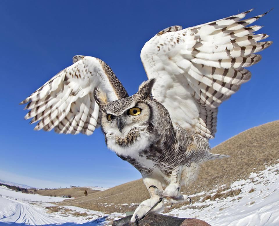 Bu Montana Raptor Conservation Center